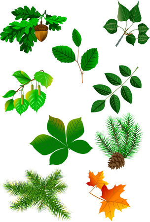 poplar: Collection of leaves of trees on white background, vector Illustration