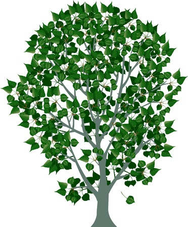 poplar: illustration of tree, white poplar with green leaves
