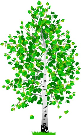 detached tree birch with leaves on a white background Illustration
