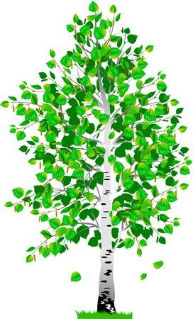 Vrijstaande boom berk met bladeren op een witte achtergrond Stockfoto - 30543171