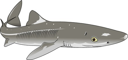 dog shark: the figure shows the fish dogfish, vector