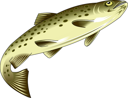 brook: Rainbow trout and brook trout isolated on white. Vector