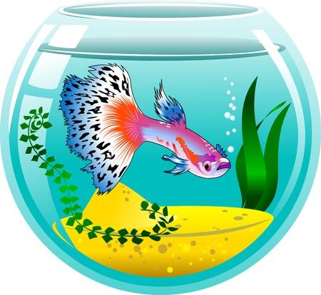 dorado: Aquarium fish. Beautiful guppy. Highly detailed vector and illustration