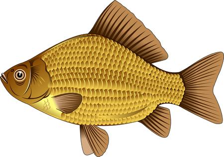 crucian: gold crucian. Editable vector illustration isolated on white background Illustration