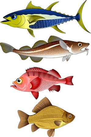 crucian: collection of commercial fish on a white background,vector and illustration Illustration