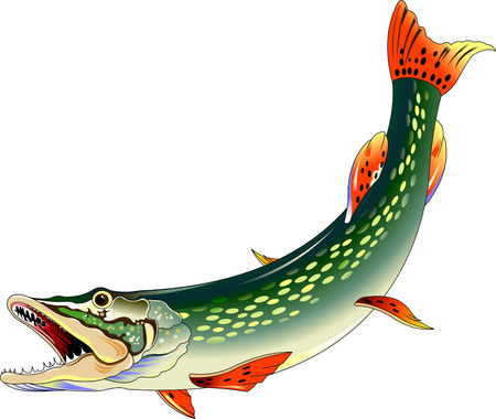 pike: huge toothy pike attacks, illustration on a white background, vector Illustration
