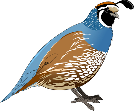 Cartoon quail. Vector illustration with simple gradients Imagens - 69116276