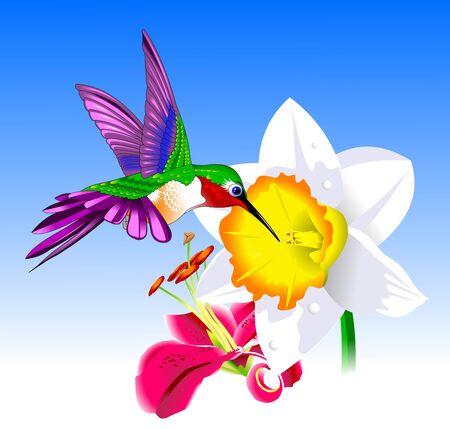 pollinator: Flying Rufous Hummingbird - Selasphorus rufus. Vector and illustration