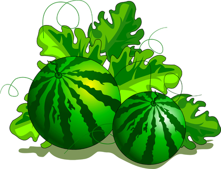 Water-melon plantation seamless pattern. Fruity vector background Illustration