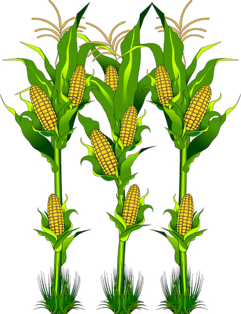 Ripe fresh yellow corn on the cob vegetable with long green leaves in cartoon style isolated on white background with caption Corn  イラスト・ベクター素材