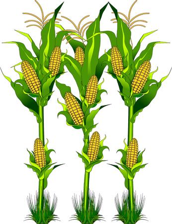 Madura de maíz amarillo fresco en la mazorca con verduras de hojas verdes largas en estilo de dibujos animados aislados en el fondo blanco con maíz epígrafe