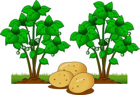 Illustration of Potato plant with roots underground illustration