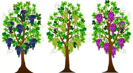three grape bushes of different varieties of grapes, vector