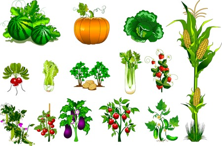variety of vegetables and berries on a white background, vector and illustration