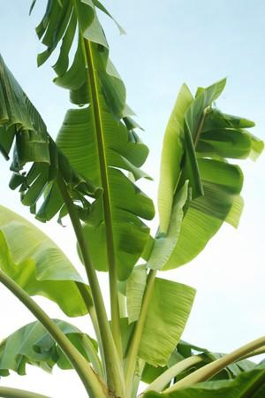 The green fresh Banana leaf photo