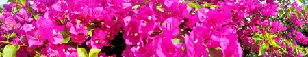 Bright Pink Bougainvillea. Panorama blossoms flower in my garden, Flower view at Thailand royalty free stock images.