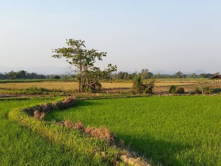 Riceland with sky natural space each morning. Rice land that are beginning growing during the cold months. Farmer has start new season of grow rice at Northern of Thailand. Royalty-free stock picture.