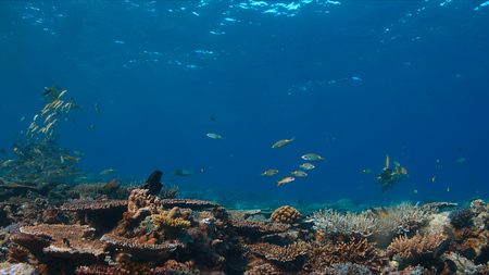 Colorful coral reef with healthy hard corals and plenty fish.