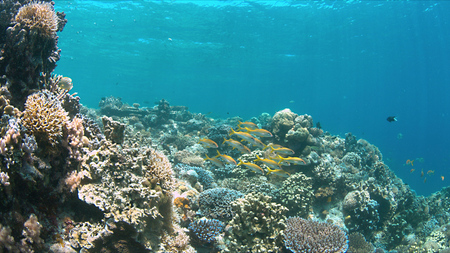 hard coral: Colorful coral reef with Yellowfin Goatfishes. Stock Photo