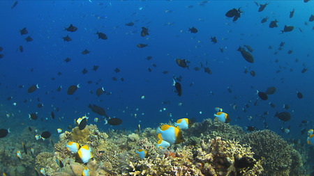 triggerfish: Colorful coral reef with plenty fish.