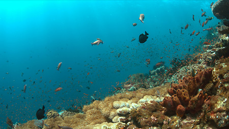 sweetlips: Colorful coral reef with plenty fish.