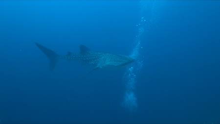 Whale shark swims on the edge of a coral reef. Some divers around.