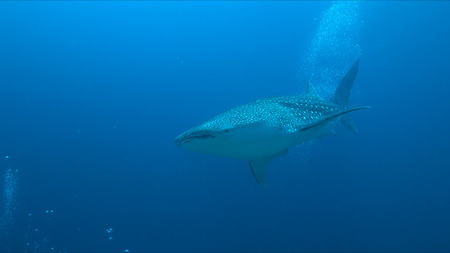 whale shark: Whale shark swims on the edge of a coral reef. Some divers around.