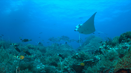 Manta ray on a colorful coral reef with healthy corals and plenty fish.
