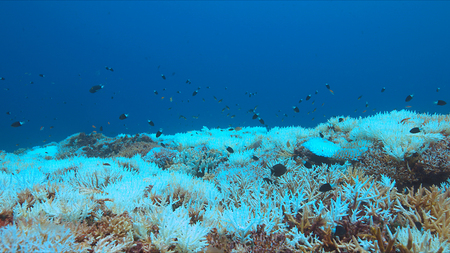 triggerfish: Coral bleaching the occurs When water Temperatures rise over a longer period. Stock Photo