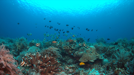 Pennant Bannerfish and Damselfishes on a staghorn coral. Stock Photo