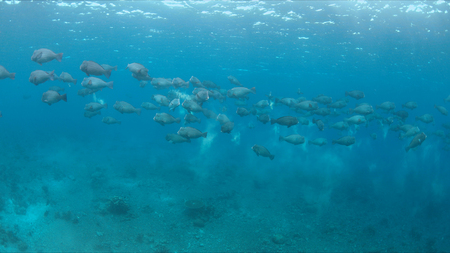 humphead: School of humphead Parrotfishes on a colorful coral reef.