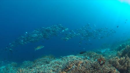 School of Black Snapper on Tubbataha Reef in Philippines.