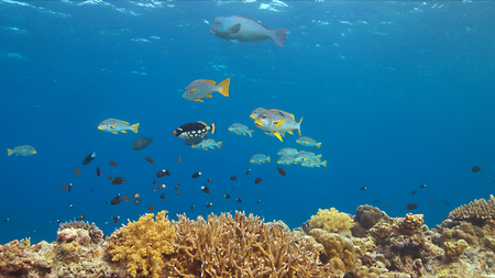 Diagonal banded sweetlips on a colorful coral reef Stock Photo