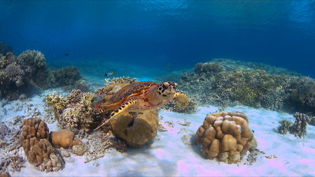 Hawksbill turtle swims on a coral reef.