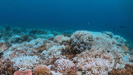 Le blanchissement des coraux survient lorsque la surface de la mer augmente. Banque d'images