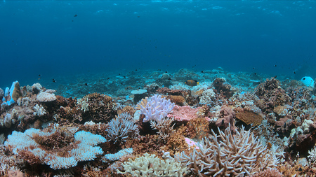 Coral bleaching occurs when sea surface increases.