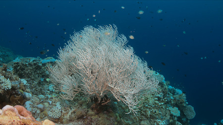 Koraalverbleking treedt op wanneer het zeeoppervlak toeneemt.