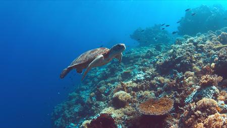 緑の海カメは、カラフルなサンゴ礁で泳ぐ。 写真素材