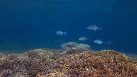 Coral reef with bluefin Trevallies and healthy hard corals. Stock Photo