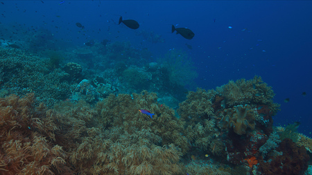 wrasse: Colorful coral reef with healthy corals and plenty fish.