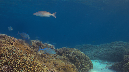 Coral reef with bluefin Trevallies and healthy hard corals. 스톡 콘텐츠