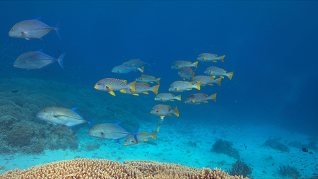 hard coral: Coral reef with diagonal banded sweetlips and healthy hard corals.