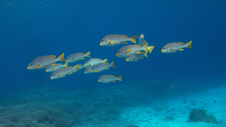triggerfish: Coral reef with diagonal banded sweetlips and healthy hard corals.