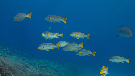 sweetlips: Coral reef with diagonal banded sweetlips and healthy hard corals.