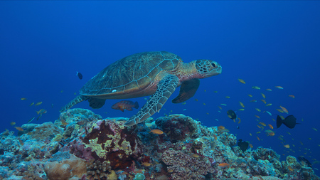Green sea turtle on a coral reef with plenty of fish. Stock Photo