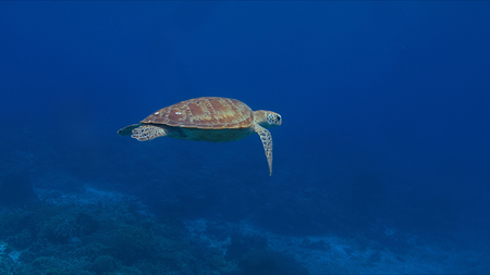 Green sea turtle in blue water.