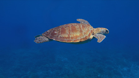Green sea turtle in blue water.