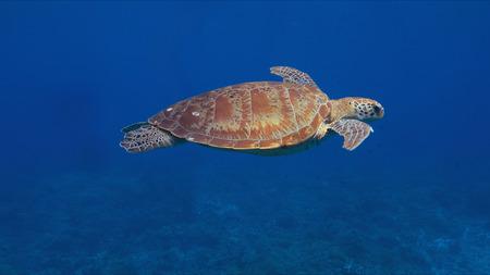 Groene zeeschildpad in blauw water. Stockfoto