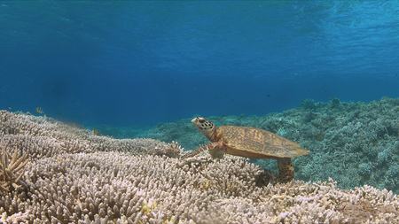 Hawksbill turtle on a coral reef while eating Foto de archivo