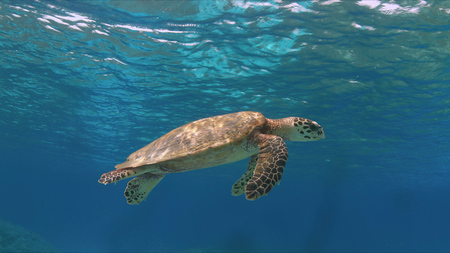 Hawksbill turtle swims on a colorful coral reef.